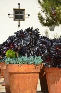 Richly colored succulents